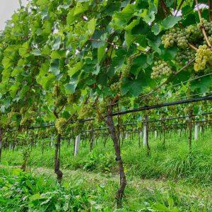 Adoptieren Sie einen Rebstock am Radoar - Club Winery