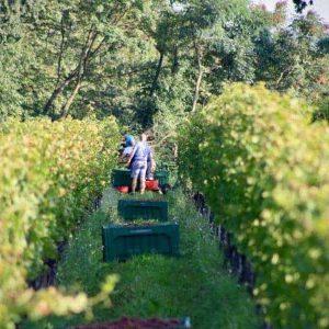 Die Ernte der Weintrauben auf Schloss Englar - Club Winery Südtirol