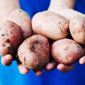 Kartoffel vom Rielingerhof - Club Winery