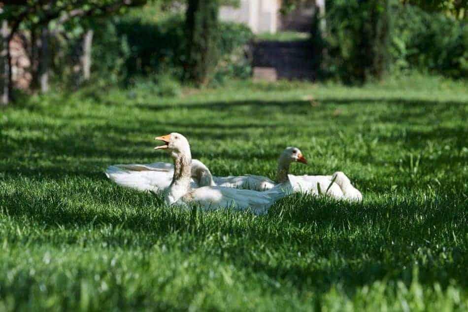Freilaufende Hühner und Gänse begrüßen Sie am Schloss Englar - Club Winery
