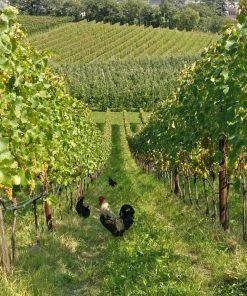 Freilaufende Hühner Weingut Schloss Englar