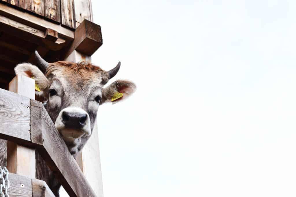 Kühe am Rielingerhof - Club Winery