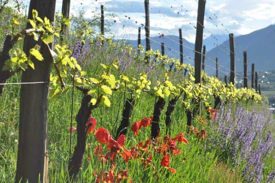Rebstock adoptieren am Weingut Schloss Englar - Rebstockpatenschaft Club Winery Südtirol