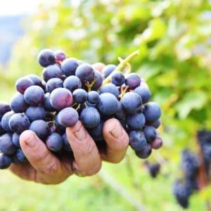 Rebstock adoptieren in Südtirol - Rielingerhof - Club Winery