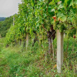 Rebstockpatenschaft am Spitalerhof in Südtirol - Weingeschenk für Weinliebhaber - Club Winery