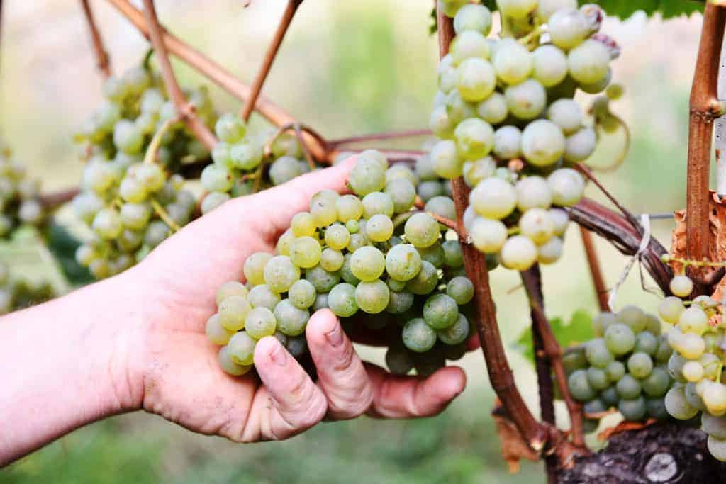 Rebstockpatenschaft vom Rielingerhof - Club Winery