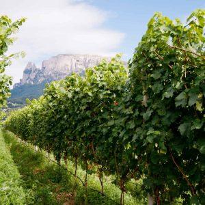 Die Rebstöcke zur Miete am Weingut Rielingerhof mit Aussicht zum Schlern - Club Winery