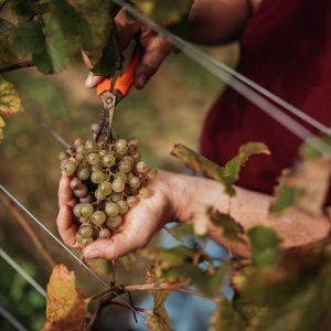 Weinlese Spitalerhof - einmal selbst Winzer sein
