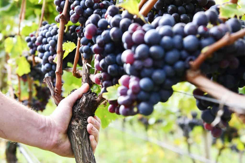 Rebstock adoptieren am Weingut Rielinger - Rebstockpatenschaft mit Club Winery
