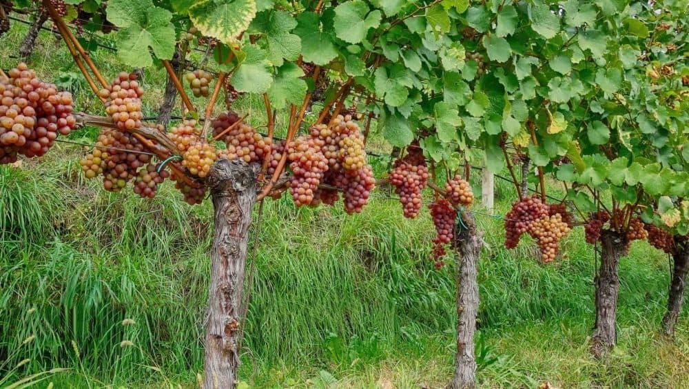 Weinpatenschaft als Geschenk mit Club Winery - Besuchen Sie das Weingut Spitalerhof in Südtirol